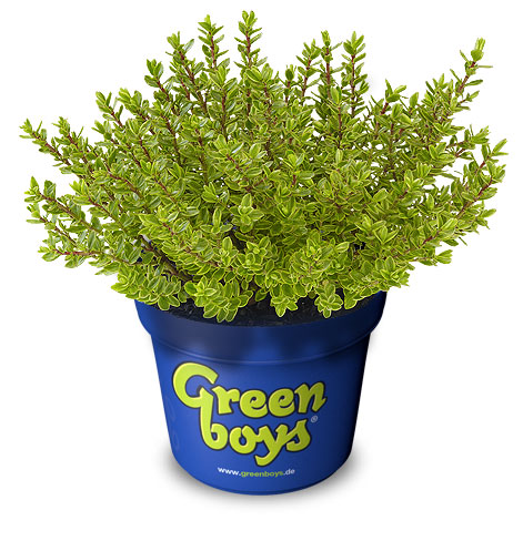 Greenboys® | hebe plants | Green goes with anything