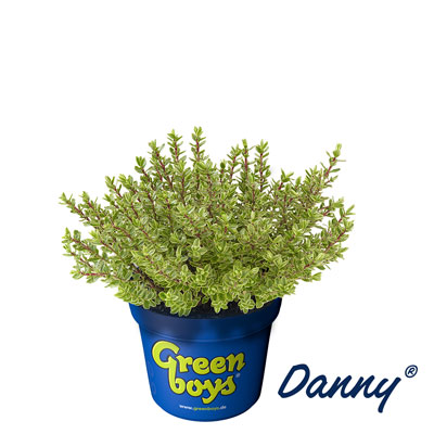 varieties greenboys hebe plants green goes with anything. Black Bedroom Furniture Sets. Home Design Ideas